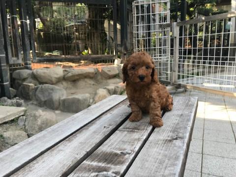 トイプードルの子犬(ID:1237311049)の3枚目の写真/更新日:2018-06-06