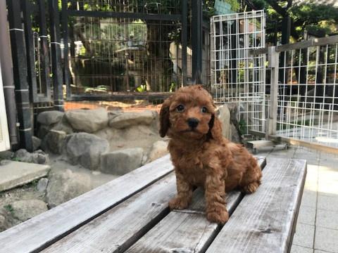 トイプードルの子犬(ID:1237311049)の4枚目の写真/更新日:2018-06-06