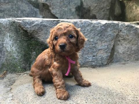 トイプードルの子犬(ID:1237311050)の2枚目の写真/更新日:2018-05-20
