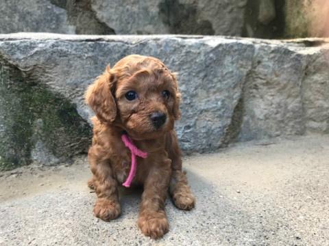 トイプードルの子犬(ID:1237311050)の3枚目の写真/更新日:2018-05-20