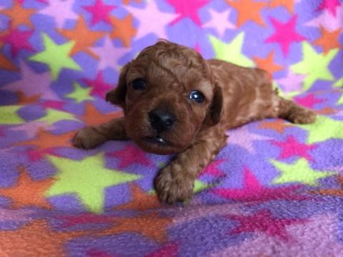 トイプードルの子犬(ID:1237311051)の2枚目の写真/更新日:2018-05-20