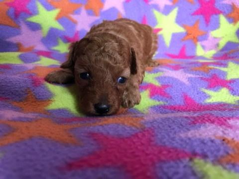 トイプードルの子犬(ID:1237311051)の3枚目の写真/更新日:2018-05-20