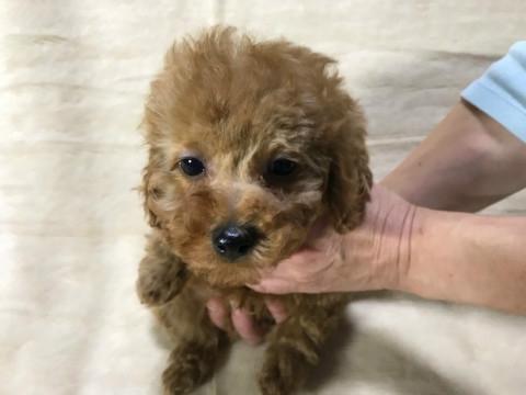 トイプードルの子犬(ID:1237311052)の1枚目の写真/更新日:2018-05-20