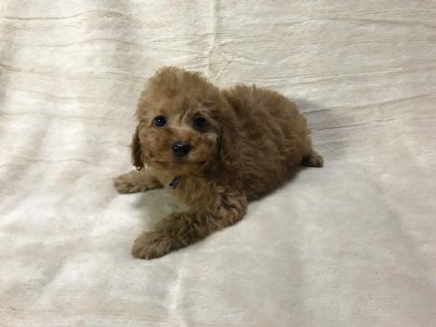 トイプードルの子犬(ID:1237311052)の2枚目の写真/更新日:2018-05-20