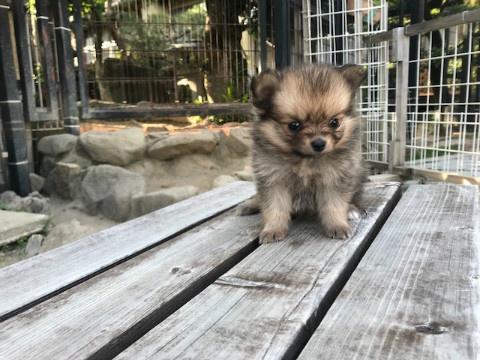 ポメラニアンの子犬(ID:1237311053)の1枚目の写真/更新日:2018-06-06