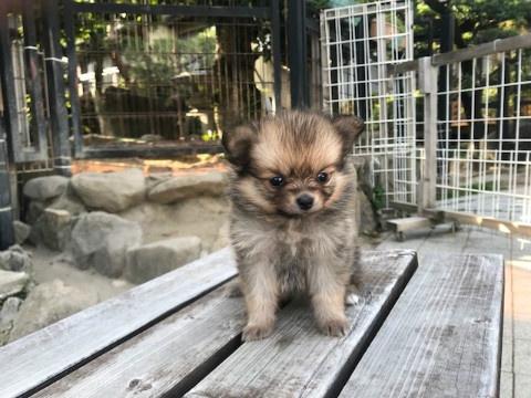 ポメラニアンの子犬(ID:1237311053)の2枚目の写真/更新日:2018-06-06