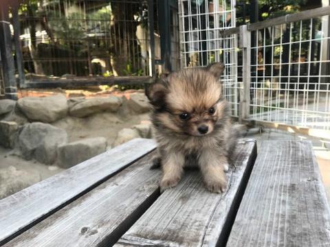 ポメラニアンの子犬(ID:1237311053)の3枚目の写真/更新日:2018-06-06