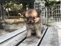 ポメラニアンの子犬(ID:1237311053)の4枚目の写真/更新日:2018-06-06