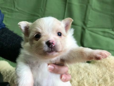 ポメラニアンの子犬(ID:1237311054)の1枚目の写真/更新日:2018-06-06