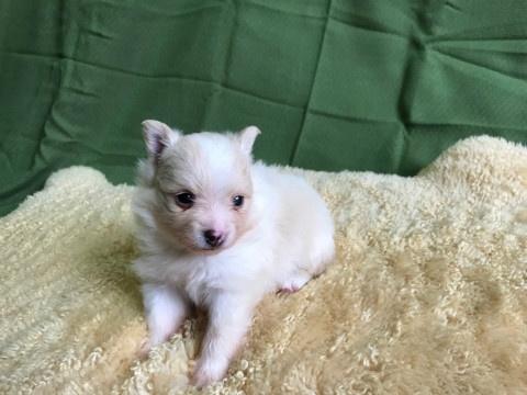 ポメラニアンの子犬(ID:1237311054)の2枚目の写真/更新日:2018-06-06