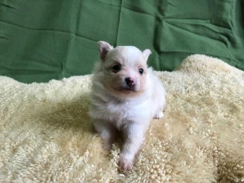 ポメラニアンの子犬(ID:1237311054)の3枚目の写真/更新日:2018-06-06