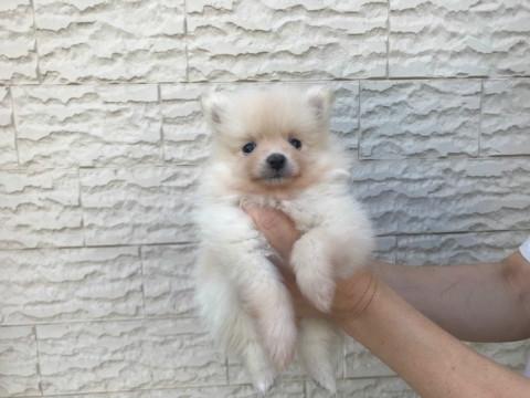 ポメラニアンの子犬(ID:1237311055)の1枚目の写真/更新日:2018-06-06