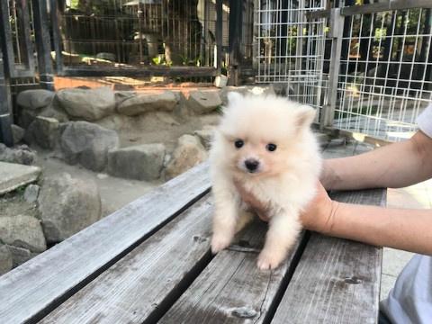 ポメラニアンの子犬(ID:1237311055)の2枚目の写真/更新日:2018-06-06