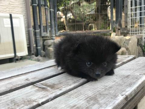 ポメラニアンの子犬(ID:1237311056)の1枚目の写真/更新日:2018-06-06