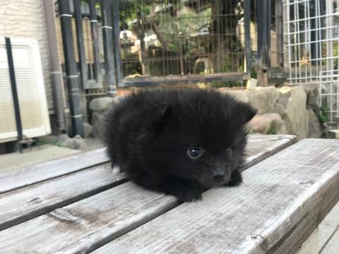 ポメラニアンの子犬(ID:1237311056)の2枚目の写真/更新日:2018-06-06