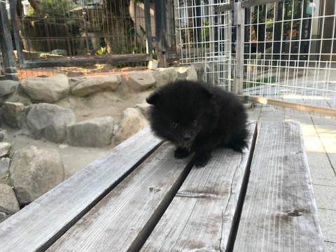 ポメラニアンの子犬(ID:1237311056)の4枚目の写真/更新日:2018-06-06