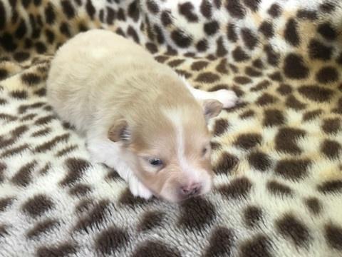 ポメラニアンの子犬(ID:1237311057)の1枚目の写真/更新日:2019-05-03
