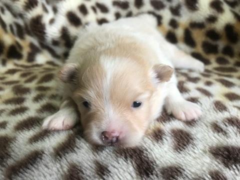 ポメラニアンの子犬(ID:1237311057)の2枚目の写真/更新日:2019-05-03