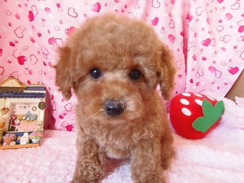 トイプードルの子犬(ID:1237411001)の1枚目の写真/更新日:2014-06-13