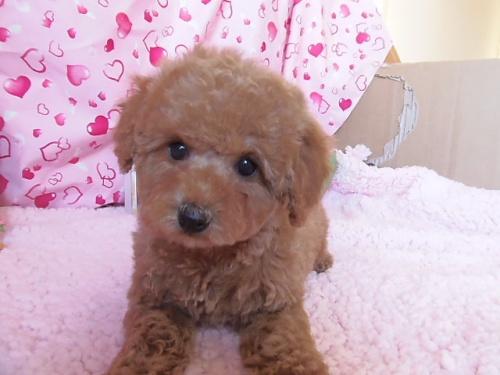 トイプードルの子犬(ID:1237411001)の2枚目の写真/更新日:2014-06-13