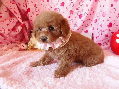トイプードルの子犬(ID:1237411001)の4枚目の写真/更新日:2014-06-13