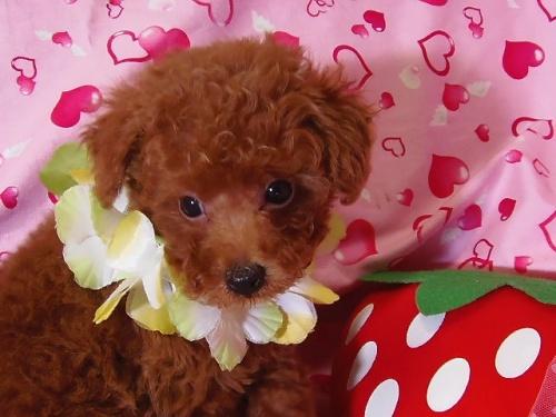 トイプードルの子犬(ID:1237411002)の1枚目の写真/更新日:2014-07-31