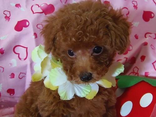 トイプードルの子犬(ID:1237411002)の2枚目の写真/更新日:2014-07-31