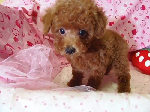 トイプードルの子犬(ID:1237411002)の3枚目の写真/更新日:2014-07-31