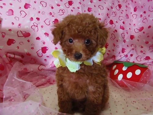 トイプードルの子犬(ID:1237411002)の4枚目の写真/更新日:2014-07-31