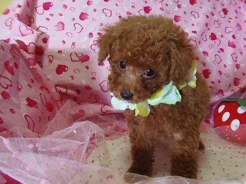 トイプードルの子犬(ID:1237411002)の5枚目の写真/更新日:2014-07-31