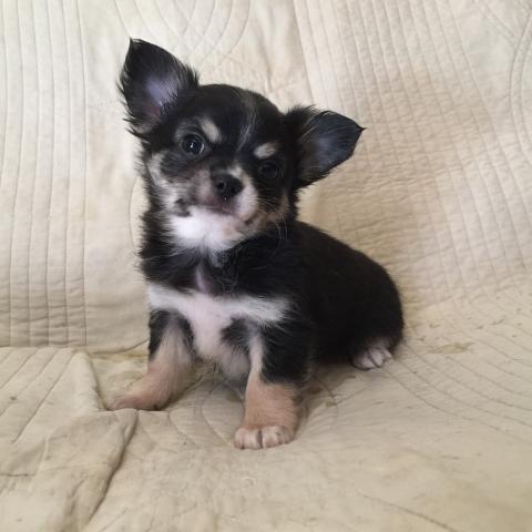 チワワ(ロング)の子犬(ID:1237511061)の1枚目の写真/更新日:2017-03-13