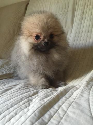 ポメラニアンの子犬(ID:1237511064)の1枚目の写真/更新日:2017-04-17