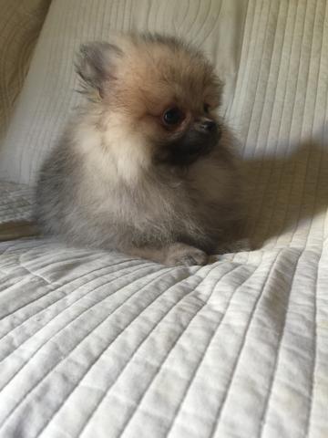 ポメラニアンの子犬(ID:1237511064)の2枚目の写真/更新日:2017-04-17