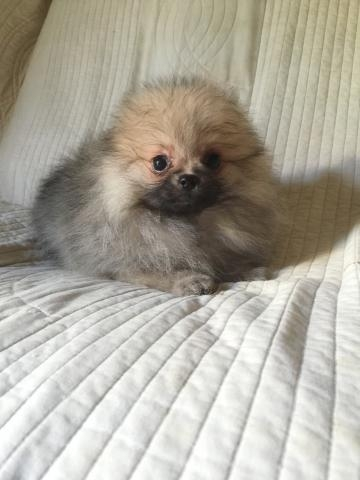 ポメラニアンの子犬(ID:1237511064)の3枚目の写真/更新日:2017-04-17