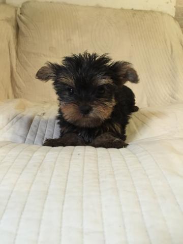 ヨークシャーテリアの子犬(ID:1237511066)の1枚目の写真/更新日:2017-05-24