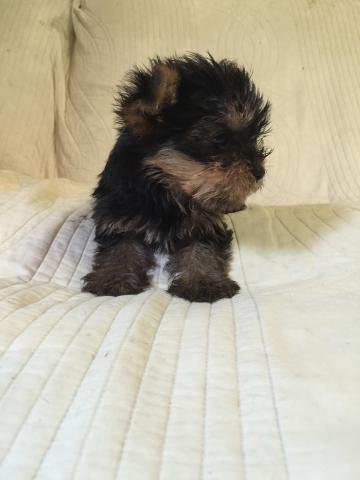 ヨークシャーテリアの子犬(ID:1237511066)の2枚目の写真/更新日:2017-05-24