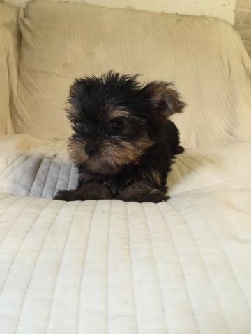 ヨークシャーテリアの子犬(ID:1237511066)の3枚目の写真/更新日:2017-07-04
