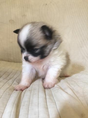 ポメラニアンの子犬(ID:1237511067)の2枚目の写真/更新日:2017-07-17