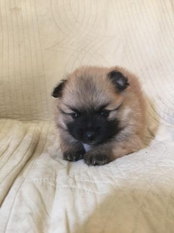 ポメラニアンの子犬(ID:1237511068)の1枚目の写真/更新日:2017-07-17
