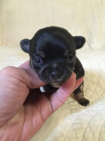 チワワ(ロング)の子犬(ID:1237511072)の1枚目の写真/更新日:2017-11-29