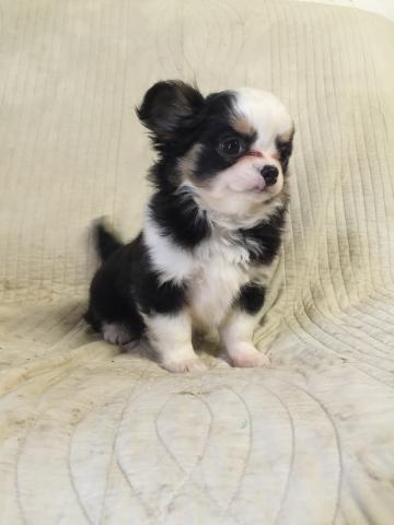 チワワ(ロング)の子犬(ID:1237511073)の1枚目の写真/更新日:2018-01-04