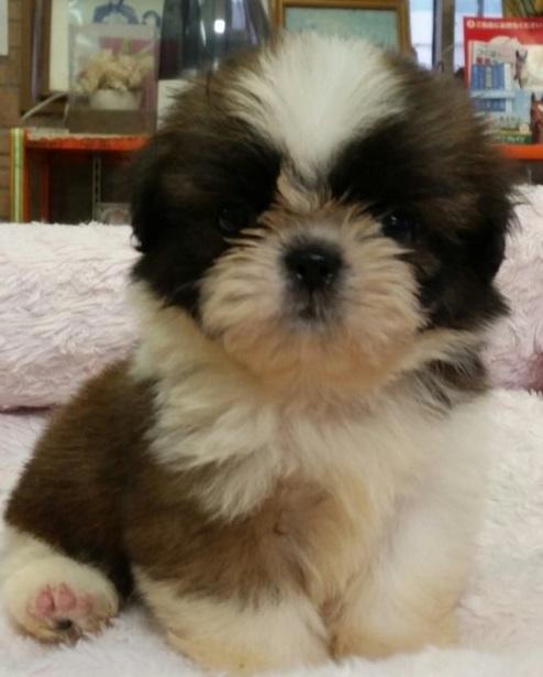 シーズーの子犬(ID:1237811001)の1枚目の写真/更新日:2018-08-14