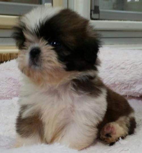 シーズーの子犬(ID:1237811001)の2枚目の写真/更新日:2018-08-14