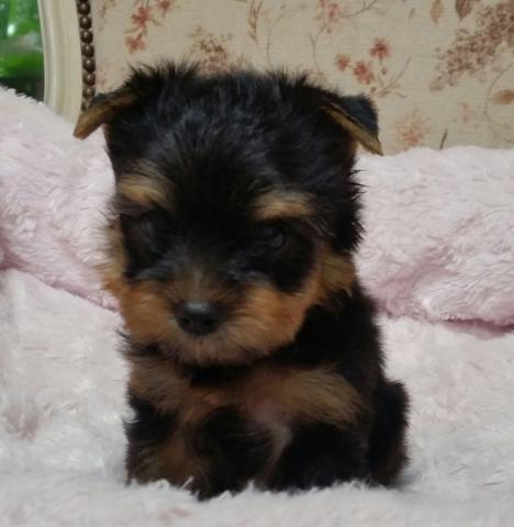 ヨークシャーテリアの子犬(ID:1237811004)の1枚目の写真/更新日:2018-06-25