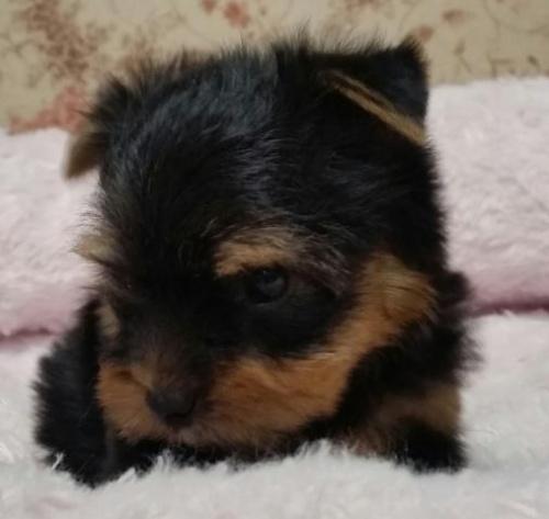 ヨークシャーテリアの子犬(ID:1237811004)の2枚目の写真/更新日:2018-06-25