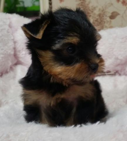 ヨークシャーテリアの子犬(ID:1237811004)の3枚目の写真/更新日:2018-06-25