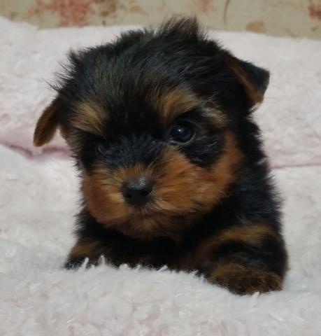 ヨークシャーテリアの子犬(ID:1237811005)の1枚目の写真/更新日:2018-06-25