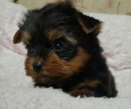 ヨークシャーテリアの子犬(ID:1237811005)の2枚目の写真/更新日:2018-06-25