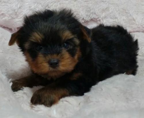 ヨークシャーテリアの子犬(ID:1237811005)の3枚目の写真/更新日:2018-06-25