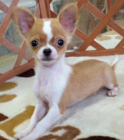 チワワ(ロング)の子犬(ID:1237811008)の2枚目の写真/更新日:2018-09-18
